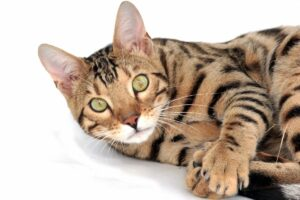 Savannah-Cat-Information-Every-Breeder-Should-Know
