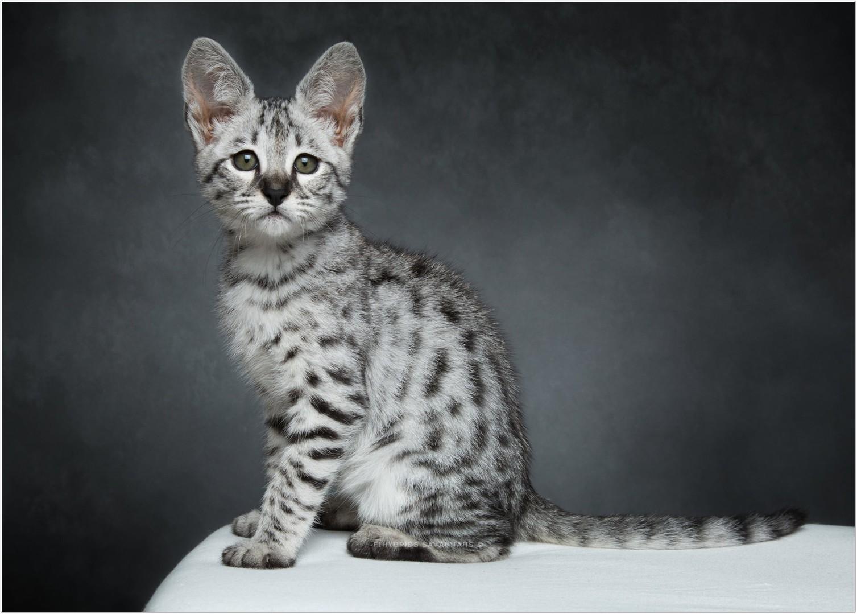 savannah-cat_4